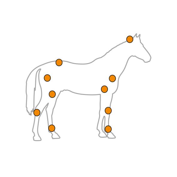 Squelette Cheval - Horse-Cox
